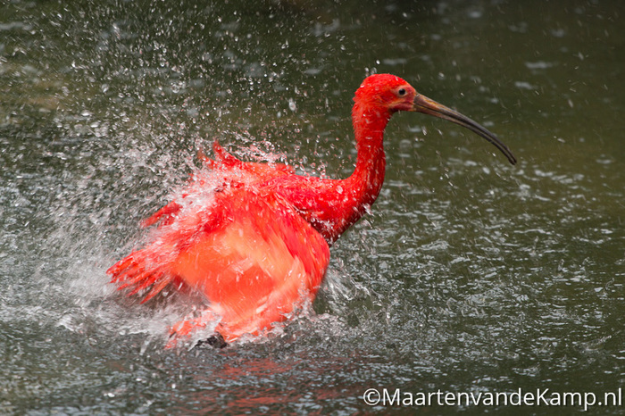 Wassende rode vogel Burgers' Bush