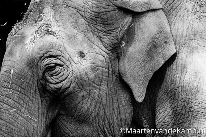 Indische olifanten Burgers' Zoo